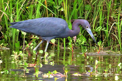 Photograph - Little Blue Heron by Frank Townsley