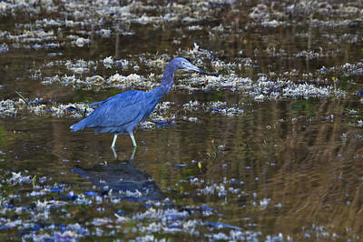 Art Print featuring the photograph Little Blue Heron by Gary Hall
