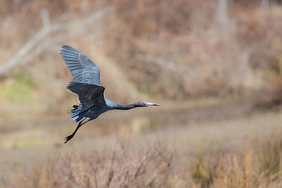Photograph - Little Blue Heron In Flight by Dale Kincaid