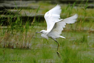 Little Blue Heron In Flight Art Print