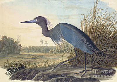Heron Mixed Media - Little Blue Heron by Celestial Images