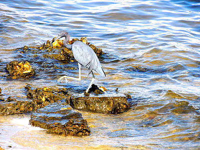 South Hutchinson Island Photograph - Little Blue Heron by Marilyn Holkham