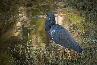 Photograph - Little Blue Heron by Penny Lisowski