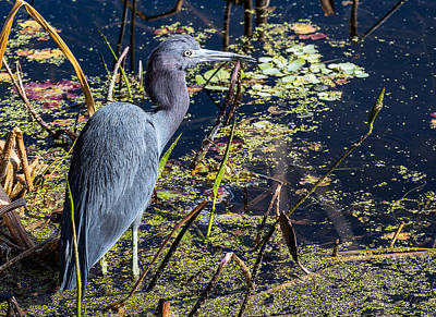 Photograph - Little Blue Heron by Richard Goldman