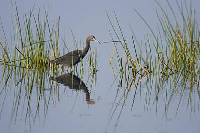 Little Blue Heron Photograph - Little Blue Heron Wading Texas by Tom Vezo