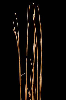 Little Bluestem Grass Original by Steve Gadomski