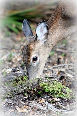Photograph - Little Buck Feeding Time 2 by Sheri McLeroy