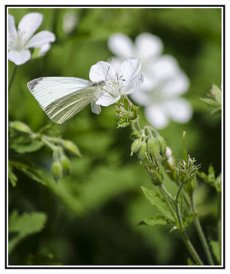 Photograph - Little Butterfly by Spikey Mouse Photography