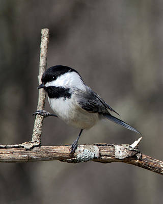 Photograph - Little Chickadee 2 by John Crothers