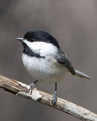 Photograph - Little Chickadee 3 by John Crothers