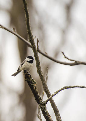 Photograph - Little Chickadee by Heather Applegate