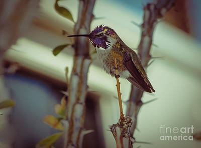 Photograph - Little Costa's Hummingbird by Robert Bales