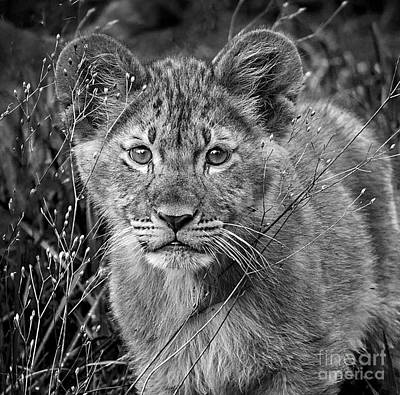 Photograph - Little Cub by Sonya Lang