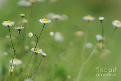 Photograph - Little Daisies by Lynda Dawson-Youngclaus