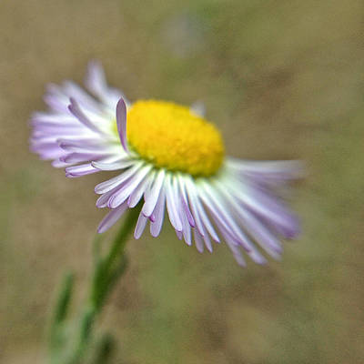 Art Print featuring the photograph Little Daisy by Kevin Bergen