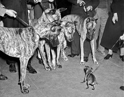 Great Dane Photograph - Little Dog Meets Big Dogs by Underwood Archives