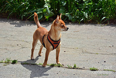 Photograph - Little Dog On High Alert by Susan Wiedmann