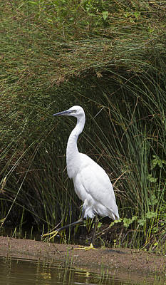 Photograph - Little Egret by Bob Kemp