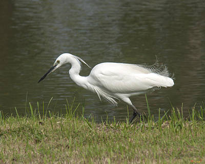 Photograph - Little Egret Egretta Garzetta Dthn0074 by Gerry Gantt