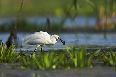 Romania Photograph - Little Egret (egretta Garzetta by Martin Zwick