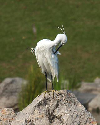 Photograph - Little Egret Preening Dthn0076 by Gerry Gantt
