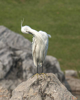 Photograph - Little Egret Preening Dthn0079 by Gerry Gantt
