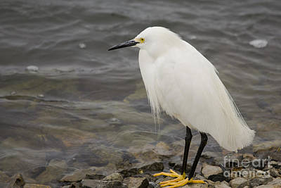 Photograph - Little Egret by Ronald Lutz