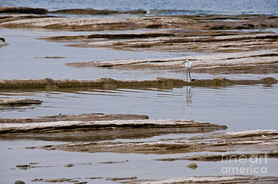 Photograph - Little Egret by Simona Ghidini