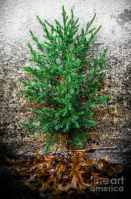 Photograph - Little Evergreen by Michael Arend