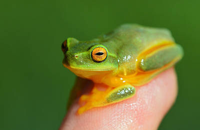 Photograph - Little Finger Tip Frog by David Clode