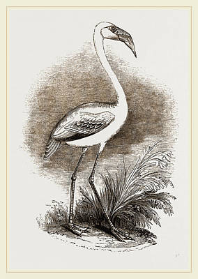 Flamingo Drawing - Little Flamingo by Litz Collection