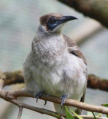 Photograph - Little Friarbird by Margaret Saheed