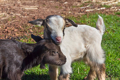 Photograph - Little Goats by Kathleen Bishop