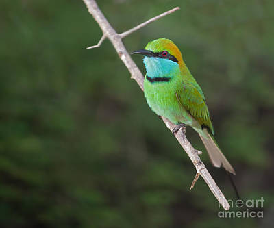 Bee Photograph - Little Green Bee-eater  Merops Orientalis by Liz Leyden
