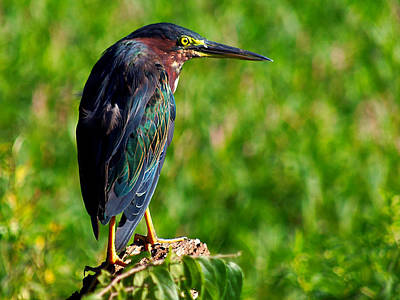 Little Green Heron 002  Art Print