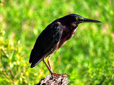Heron Photograph - Little Green Heron 005 by Chris Mercer