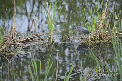 Photograph - Little Green Heron by Alana Ranney