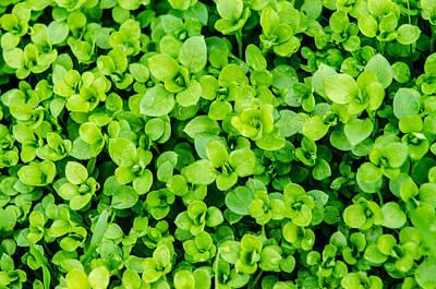 Photograph - Little Green Leafs. by Slavica Koceva