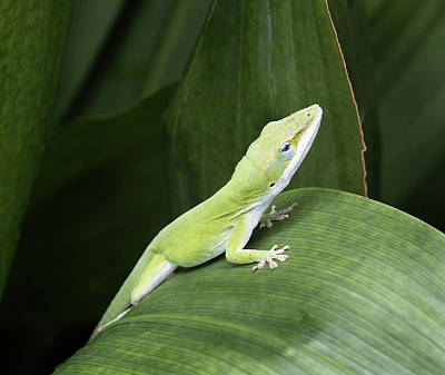 Photograph - Little Green Lizard by Marilyn Hunt