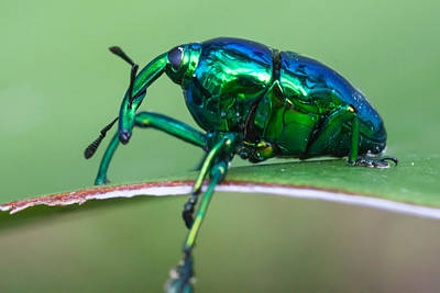 Little Green Weevil Print by Craig Lapsley