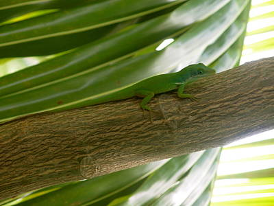 Little Haitian Lizard Art Print by Marianne Miles