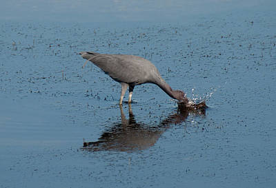Heron Photograph - Little Haron Diving For Dinner by John Black