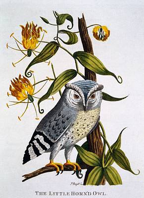 Owl Drawing - Little Horned Owl, From Indian Zoology by Thomas Pennant