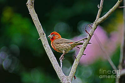 Photograph - Little House Finch Red Bird by D Wallace