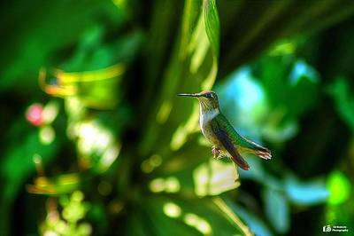 Print featuring the photograph Little Humming Bird by Ed Roberts