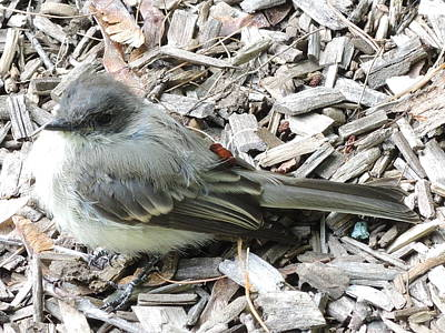 Photograph - Little Junco by Chrissey Dittus