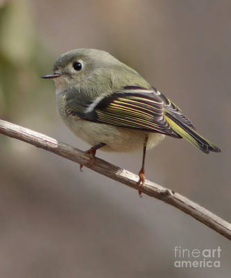 Ruby-crowned Kinglet Birds Photograph - Little Kinglet by Anita Oakley