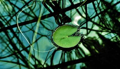 Photograph - Little Lilypad by Sarah Pemberton