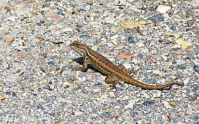 Little Lizard On Bright Angel Point Trail On North Rim Of Grand Canyon-arizo Original