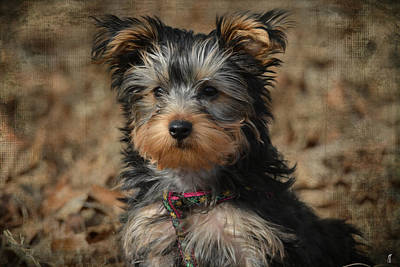 Yorkshire Terrier Puppy Photograph - Little Miss Curious by Jai Johnson